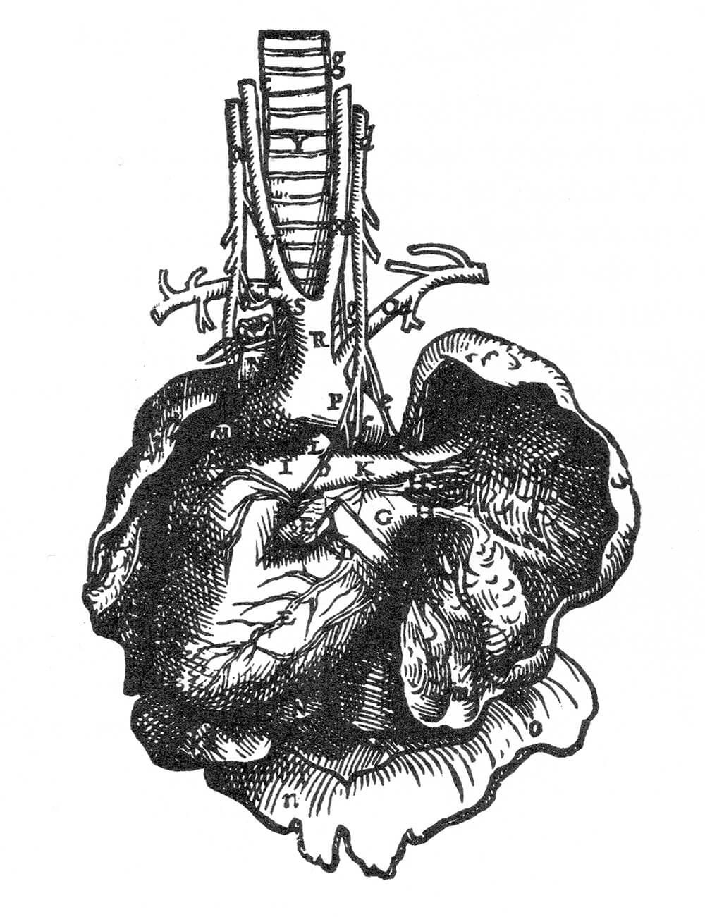 Heart by Andreas Vesalius 16thC Europe